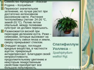 Спатифиллум Уоллеса – Spathiphyllum wallisii Rgl. Семейство Ароидные - Araceae Р
