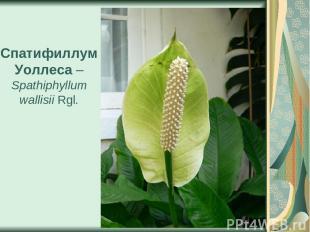 Спатифиллум Уоллеса – Spathiphyllum wallisii Rgl.