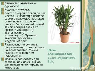 Семейство Агавовые – Agavaceae Родина – Мексика. Растет в хорошо освещенных мест