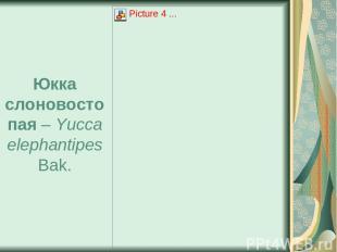 Юкка слоновостопая – Yucca elephantipes Bak.