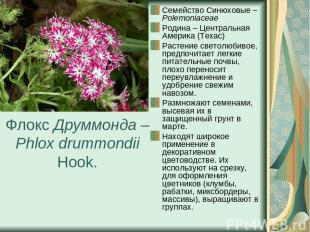 Флокс Друммонда – Phlox drummondii Hook. Семейство Синюховые – Polemoniaceae Род