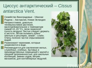 Циссус антарктический – Cissus antarctica Vent. Семейство Виноградовые - Vitacea