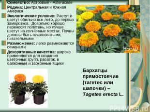 Семейство: Астровые - Asteraceae Родина: Центральная и Южная Америка Экологическ