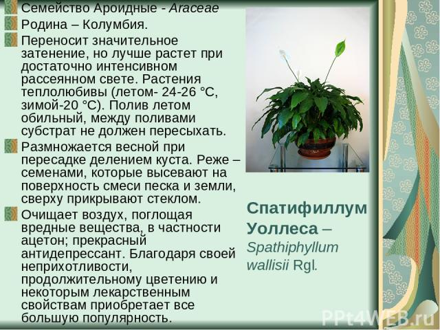 Спатифиллум Уоллеса – Spathiphyllum wallisii Rgl. Семейство Ароидные - Araceae Родина – Колумбия. Переносит значительное затенение, но лучше растет при достаточно интенсивном рассеянном свете. Растения теплолюбивы (летом- 24-26 °С, зимой-20 °С). Пол…
