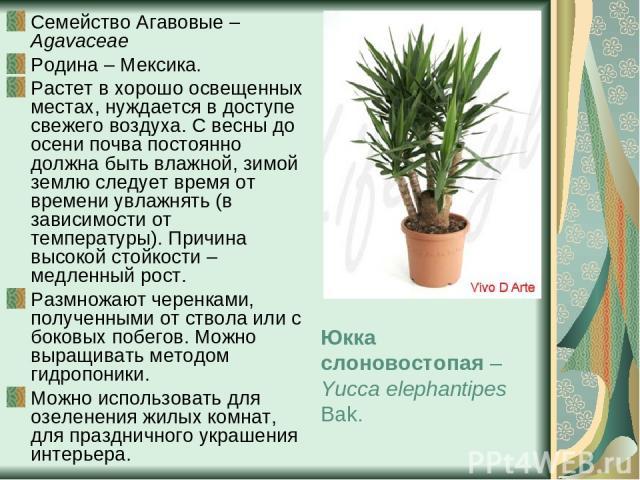 Семейство Агавовые – Agavaceae Родина – Мексика. Растет в хорошо освещенных местах, нуждается в доступе свежего воздуха. С весны до осени почва постоянно должна быть влажной, зимой землю следует время от времени увлажнять (в зависимости от температу…