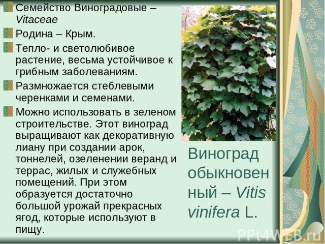 Виноград обыкновенный – Vitis vinifera L. Семейство Виноградовые – Vitaceae Родина – Крым. Тепло- и светолюбивое растение, весьма устойчивое к грибным заболеваниям. Размножается стеблевыми черенками и семенами. Можно использовать в зеленом строитель…