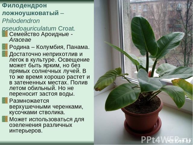 Филодендрон ложноушковатый – Philodendron pseudoauriculatum Croat. Семейство Ароидные - Araceae Родина – Колумбия, Панама. Достаточно неприхотлив и легок в культуре. Освещение может быть ярким, но без прямых солнечных лучей. В то же время хорошо рас…