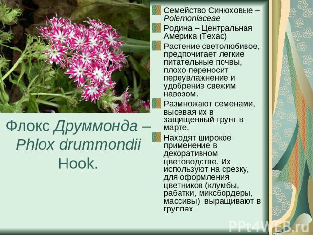 Флокс Друммонда – Phlox drummondii Hook. Семейство Синюховые – Polemoniaceae Родина – Центральная Америка (Техас) Растение светолюбивое, предпочитает легкие питательные почвы, плохо переносит переувлажнение и удобрение свежим навозом. Размножают сем…