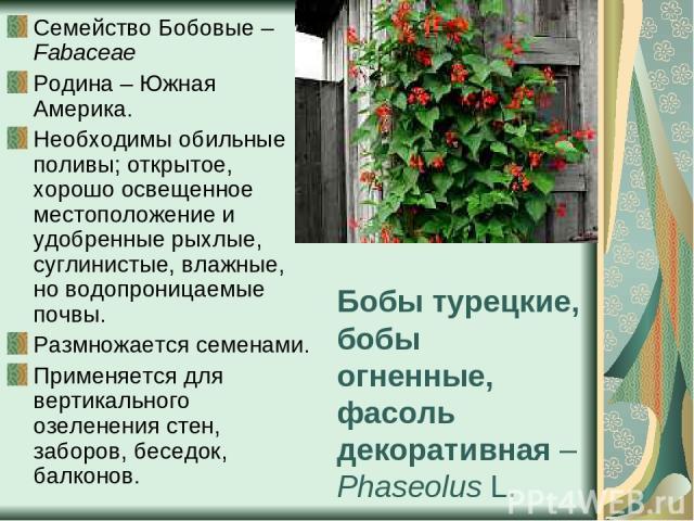 Бобы турецкие, бобы огненные, фасоль декоративная – Phaseolus L. Семейство Бобовые – Fabaceae Родина – Южная Америка. Необходимы обильные поливы; открытое, хорошо освещенное местоположение и удобренные рыхлые, суглинистые, влажные, но водопроницаемы…