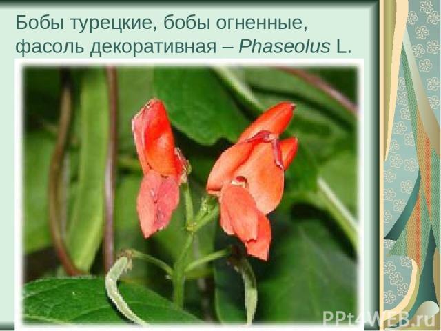 Бобы турецкие, бобы огненные, фасоль декоративная – Phaseolus L.