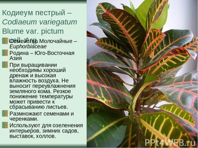 Кодиеум пестрый – Codiaeum variegatum Blume var. pictum Muell. Arg. Семейство Молочайные – Euphorbiaceae Родина – Юго-Восточная Азия При выращивании необходимы хороший дренаж и высокая влажность воздуха. Не выносит переувлажнения земляного кома. Рез…