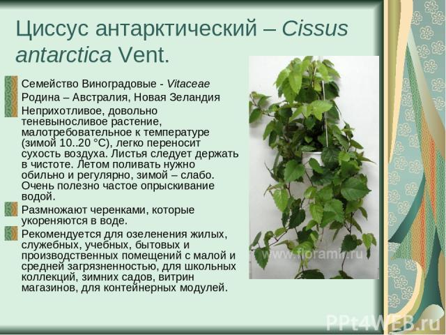 Циссус антарктический – Cissus antarctica Vent. Семейство Виноградовые - Vitaceae Родина – Австралия, Новая Зеландия Неприхотливое, довольно теневыносливое растение, малотребовательное к температуре (зимой 10..20 °С), легко переносит сухость воздуха…