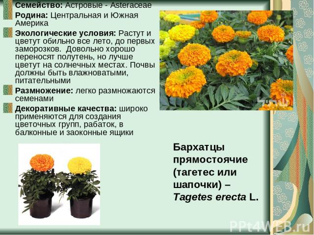 Семейство: Астровые - Asteraceae Родина: Центральная и Южная Америка Экологические условия: Растут и цветут обильно все лето, до первых заморозков. Довольно хорошо переносят полутень, но лучше цветут на солнечных местах. Почвы должны быть влажноваты…
