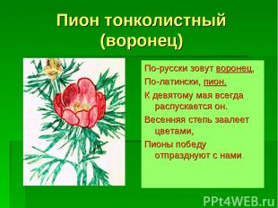 Пион тонколистный (воронец) По-русски зовут воронец, По-латински, пион. К девято