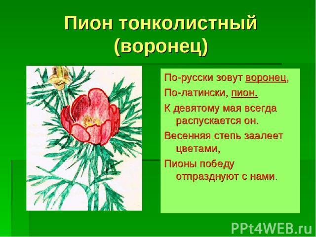 Пион тонколистный (воронец) По-русски зовут воронец, По-латински, пион. К девятому мая всегда распускается он. Весенняя степь заалеет цветами, Пионы победу отпразднуют с нами.