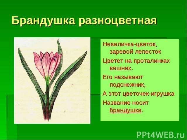 Брандушка разноцветная Невеличка-цветок, заревой лепесток Цветет на проталинках вешних. Его называют подснежник, А этот цветочек-игрушка Название носит брандушка.