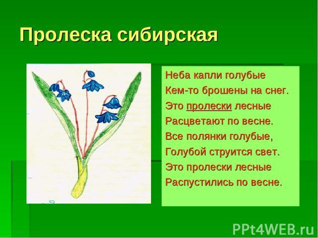 Пролеска сибирская Неба капли голубые Кем-то брошены на снег. Это пролески лесные Расцветают по весне. Все полянки голубые, Голубой струится свет. Это пролески лесные Распустились по весне.