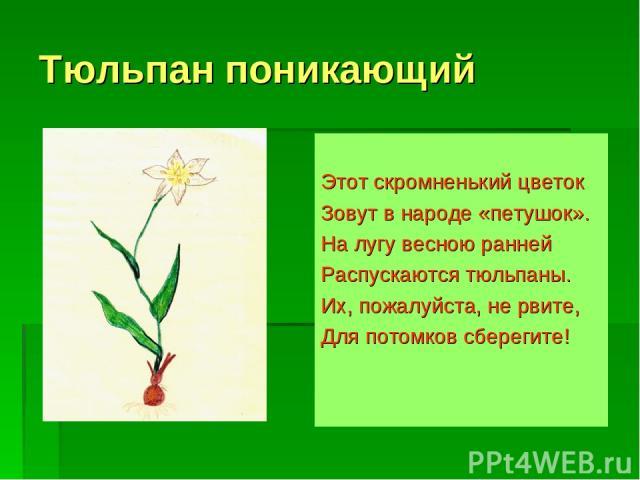 Тюльпан поникающий Этот скромненький цветок Зовут в народе «петушок». На лугу весною ранней Распускаются тюльпаны. Их, пожалуйста, не рвите, Для потомков сберегите!