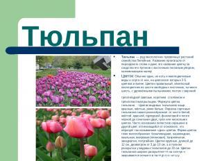 Тюльпан Тюльпан — род многолетних луковичных растений семейства Лилейные. Назва
