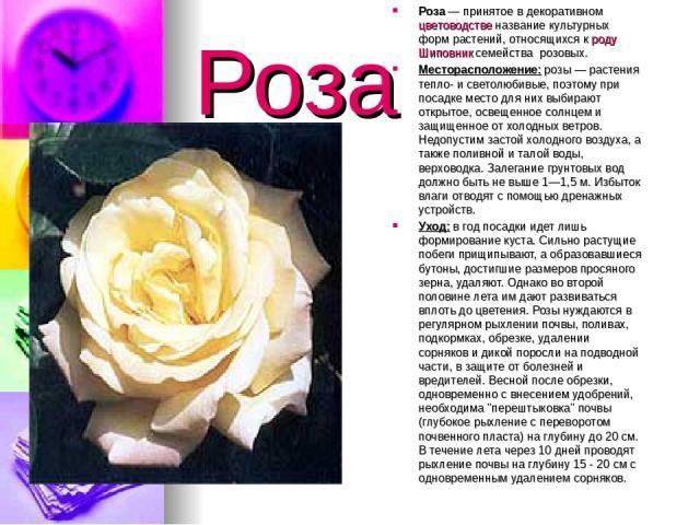 Роза Роза— принятое в декоративном цветоводстве название культурных форм растений, относящихся к роду Шиповник семейства розовых. Месторасположение: розы — растения тепло- и светолюбивые, поэтому при посадке место для них выбирают открытое, освещен…