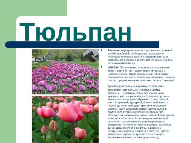 Тюльпан Тюльпан — род многолетних луковичных растений семейства Лилейные. Название произошло от персидского слова и дано это название цветку за сходство его бутонов с восточным головным убором, напоминавшим чалму Цветок: Обычно один, но есть и мног…