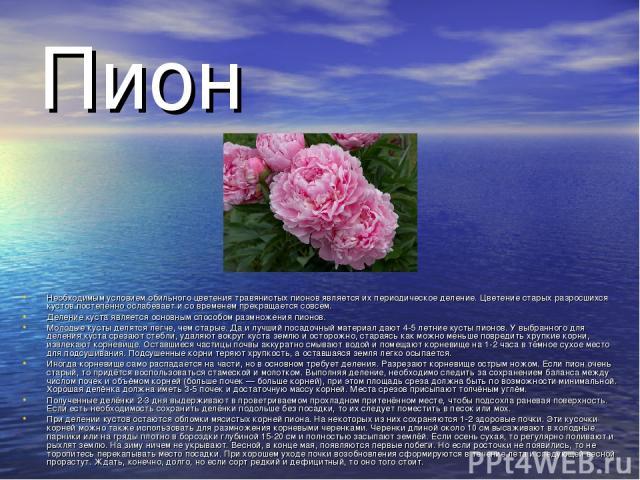Пион Необходимым условием обильного цветения травянистых пионов является их периодическое деление. Цветение старых разросшихся кустов постепенно ослабевает и со временем прекращается совсем. Деление куста является основным способом размножения пионо…