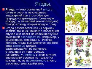 Ягоды. Ягода — многосеменной плод с сочным экзо- и мезокарпием, эндокарпий при