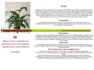 Спатифиллум Многолетнее травянистое растение родом из влажных тропических лесов