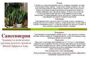 Сансевиерия Травянистое вечнозеленое растение родом из тропиков Южной Африки и А