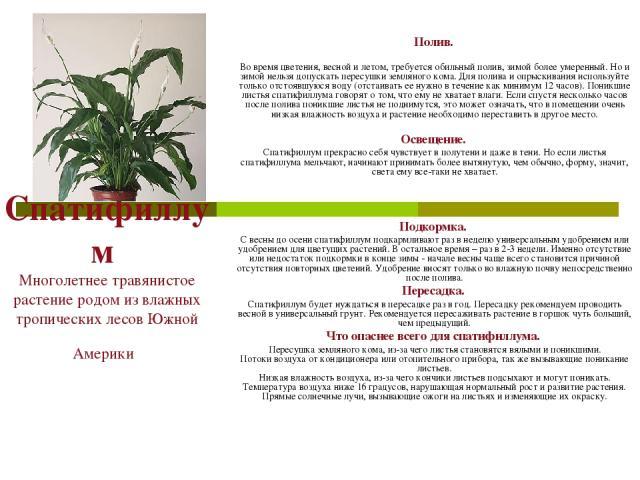Спатифиллум Многолетнее травянистое растение родом из влажных тропических лесов Южной Америки Полив. Во время цветения, весной и летом, требуется обильный полив, зимой более умеренный. Но и зимой нельзя допускать пересушки земляного кома. Для полива…