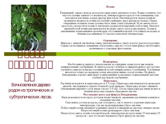 Фикус Бенджамина Вечнозеленое дерево родом из тропических и субтропических лесов. Полив. Умеренный, однако нельзя допускать пересушки земляного кома. Важно помнить, что частота полива зависит от влажности, температуры воздуха в том помещении, где на…