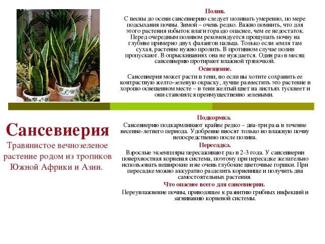 Сансевиерия Травянистое вечнозеленое растение родом из тропиков Южной Африки и Азии. Полив. С весны до осени сансевиерию следует поливать умеренно, по мере подсыхания почвы. Зимой – очень редко. Важно помнить, что для этого растения избыток влаги го…