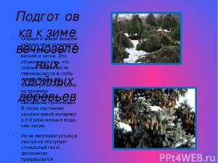 Подготовка к зиме вечнозеленых хвойных деревьев Осенью и зимой зеленая окраска х