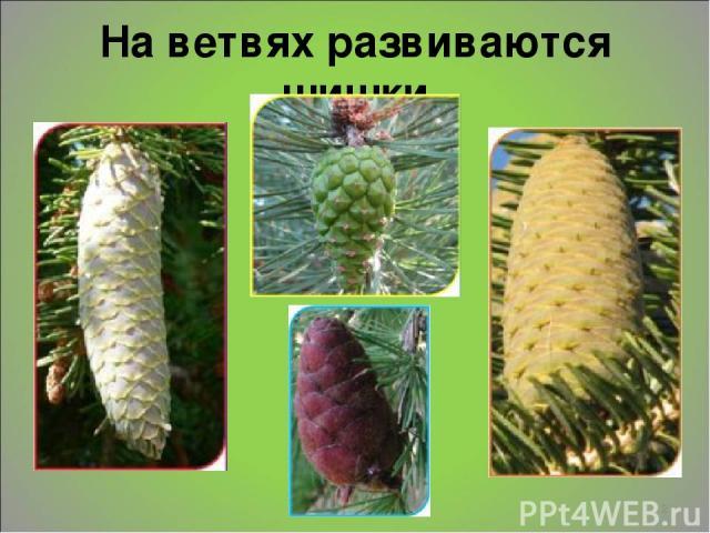 На ветвях развиваются шишки *