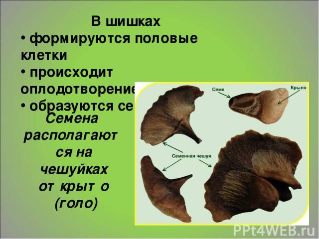 * В шишках формируются половые клетки происходит оплодотворение образуются семена Семена располагаются на чешуйках открыто (голо)