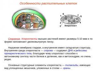 Строение. Хлоропласты высших растений имеют размеры 5-10 мкм и по форме напомина