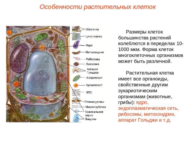 Размеры клеток большинства растений колеблются в переделах 10-1000 мкм. Форма клеток многоклеточных организмов может быть различной. Растительная клетка имеет все органоиды, свойственные другим эукариотическим организмам (животные, грибы): ядро, энд…