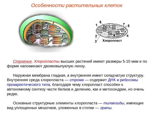 Строение. Хлоропласты высших растений имеют размеры 5-10 мкм и по форме напоминают двояковыпуклую линзу. Наружная мембрана гладкая, а внутренняя имеет складчатую структуру. Внутренняя среда хлоропласта — строма — содержит ДНК и рибосомы прокариотиче…