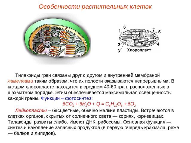 Тилакоиды гран связаны друг с другом и внутренней мембраной ламеллами таким образом, что их полости оказываются непрерывными. В каждом хлоропласте находится в среднем 40-60 гран, расположенных в шахматном порядке. Этим обеспечивается максимальная ос…