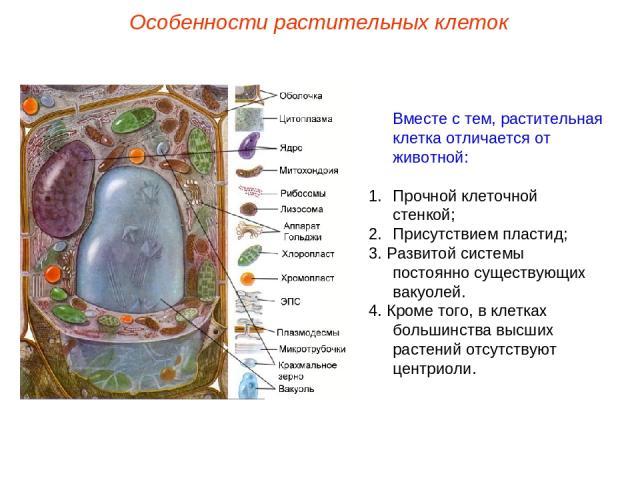 Вместе с тем, растительная клетка отличается от животной: Прочной клеточной стенкой; Присутствием пластид; 3. Развитой системы постоянно существующих вакуолей. 4. Кроме того, в клетках большинства высших растений отсутствуют центриоли. Особенности р…
