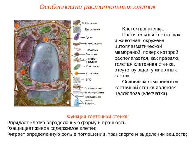 Клеточная стенка. Растительная клетка, как и животная, окружена цитоплазматической мембраной, поверх которой располагается, как правило, толстая клеточная стенка, отсутствующая у животных клеток. Основным компонентом клеточной стенки является целлюл…
