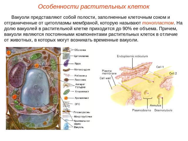 Вакуоли представляют собой полости, заполненные клеточным соком и отграниченные от цитоплазмы мембраной, которую называют тонопластом. На долю вакуолей в растительной клетке приходится до 90% ее объема. Причем, вакуоли являются постоянными компонент…
