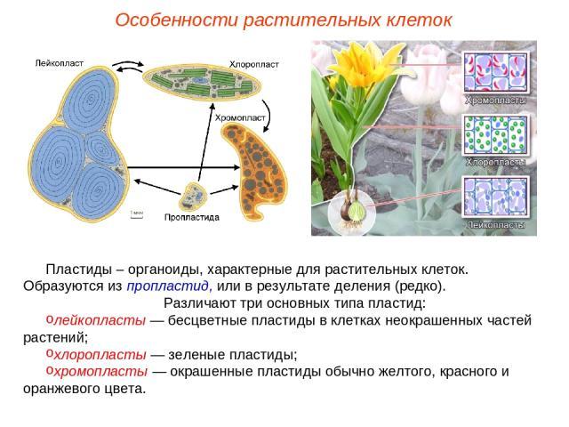 Пластиды – органоиды, характерные для растительных клеток. Образуются из пропластид, или в результате деления (редко). Различают три основных типа пластид: лейкопласты — бесцветные пластиды в клетках неокрашенных частей растений; хлоропласты — зелен…