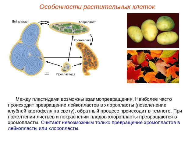 Между пластидами возможны взаимопревращения. Наиболее часто происходит превращение лейкопластов в хлоропласты (позеленение клубней картофеля на свету), обратный процесс происходит в темноте. При пожелтении листьев и покраснении плодов хлоропласты пр…