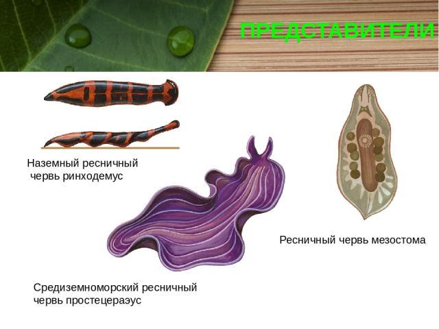 ПРЕДСТАВИТЕЛИ Наземный ресничный червь ринходемус Ресничный червь мезостома Средиземноморский ресничный червь простецераэус