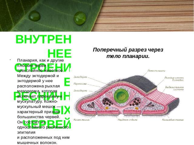 ВНУТРЕННЕЕ СТРОЕНИЕ РЕСНИЧНЫХ ЧЕРВЕЙ Планария, как и другие плоские черви — трехслойное животное. Между эктодермой и энтодермой унее расположена рыхлая мезодерма, которая включает паренхиму и мускулатуру. Кожно-мускульный мешок — характерный призна…