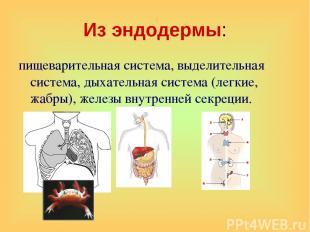 Из эндодермы: пищеварительная система, выделительная система, дыхательная систем