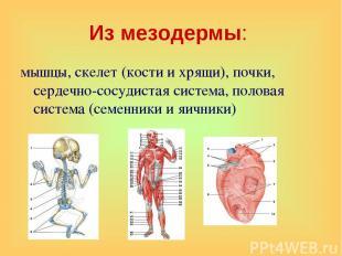 Из мезодермы: мышцы, скелет (кости и хрящи), почки, сердечно-сосудистая система,