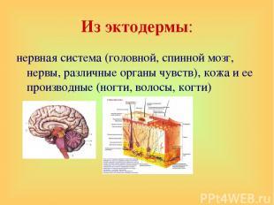 Из эктодермы: нервная система (головной, спинной мозг, нервы, различные органы ч