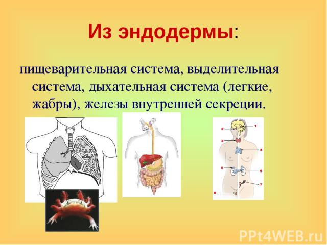 Из эндодермы: пищеварительная система, выделительная система, дыхательная система (легкие, жабры), железы внутренней секреции.